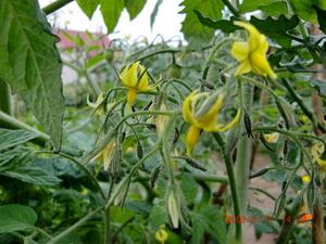 tomato090817.jpg